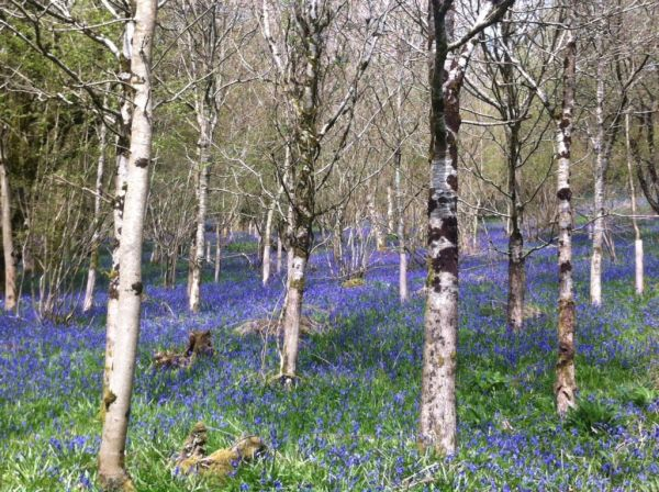 Dorset bluebelle woods