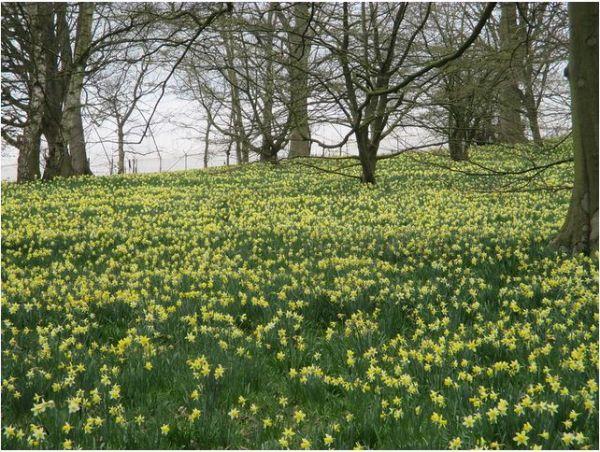 Dymock Daffodils - Paul Pearson