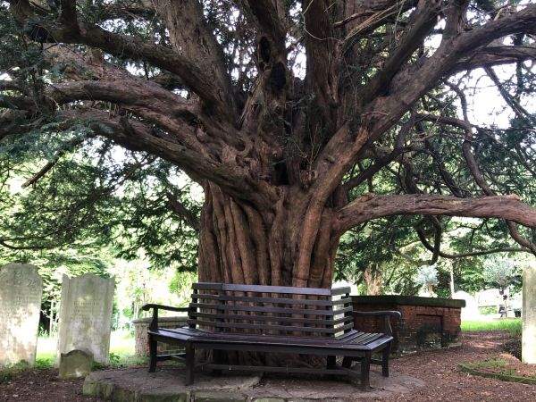 Venerable tree in Farnborough churchyard (Nick Goodwin)