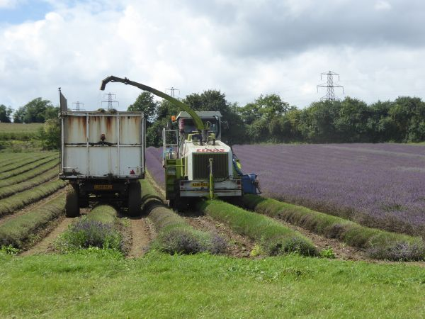 Lavender harvest - Darent Valley Path