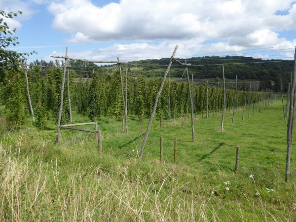 Hop field - Darent Valley Path