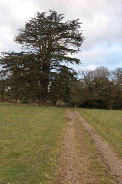 Ancient Tree near Henley Park