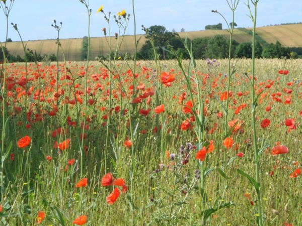 Dorset poppy fields