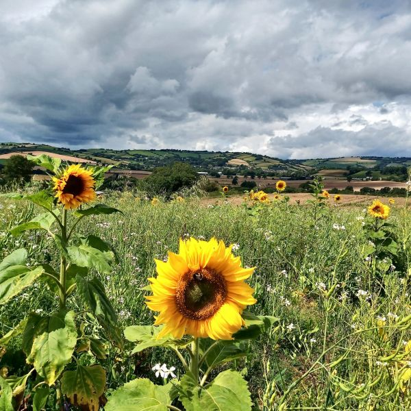 A field of sunflowers off Quakinghouse Lane on the descent to Slape Moor (Tim Ryan)