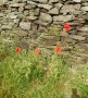 Poppies by the trackside